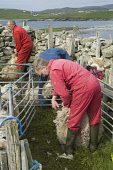WEST BURRA SHETLAND Farmer shearing Shetland sheep with hand clippers  Picture Credit: Doug Houghton / Scottish Viewpoint Tel: +44 (0) 131 622 7174   Fax: +44 (0) 131 622 7175 E-Mail : info@scottishvi... Public, NMR shetland,west,burra,scotland,scottish,agronomy,side,countryside,domestic,ovis,ovine,farmland,outdoors,live,stock,farming,farm,agricultural,agriculture,livestock,farmer,people,man,male,men,males,remote