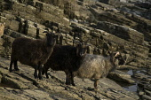 NORTH RONALDSAY ORKNEY Three Seaweed eating sheep on rugged rocky cliffs  Picture Credit: Doug Houghton / Scottish Viewpoint Tel: +44 (0) 131 622 7174   Fax: +44 (0) 131 622 7175 E-Mail : info@scottis... Public orkney,north,ronaldsay,seaweed,eating,sheep,three,northern,isles,scotland,islands,ewe,ovis,ovine,flock,farm,breed,bred,rear,breeding,raising,rearing,farming,breeds,breds,pedigrees,thoroughbreds,pedigr