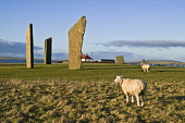 Sheep FARMING ORKNEY Rams in field Standing stones of Stenness  Picture Credit: Doug Houghton / Scottish Viewpoint Tel: +44 (0) 131 622 7174   Fax: +44 (0) 131 622 7175 E-Mail : info@scottishviewpoint... Public orkney,farming,sheep,standing,stones,rural,farm,fold,ovis,ovine,ram,male,graze,eat,grazes,eats,feeds,grazing,eating,menhir,customs,heritage,megalith,monolith,stone,breed,bred,rear,animals,breeds,breds