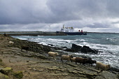 Twingness NORTH RONALDSAY ORKNEY North Ronaldsay sheep and Earl Sigurd roll on roll off inter island ferry  Picture Credit: Doug Houghton / Scottish Viewpoint Tel: +44 (0) 131 622 7174   Fax: +44 (0)... Public orkney,north,ronaldsay,sheep,flock,ferry,sea,coast,passenger,public,transport,ferryboat,boat,ship,inter,island,ro,roro,roll,on,off,rollon,rolloff,herd,fold,ovis,ovine,ewe,female,herded,flocked,herding
