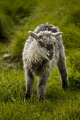 NORTH RONALDSAY ORKNEY North Ronaldsay black and white young lamb  Picture Credit: Doug Houghton / Scottish Viewpoint Tel: +44 (0) 131 622 7174   Fax: +44 (0) 131 622 7175 E-Mail : info@scottishviewpo... Public orkney,north,ronaldsay,springlamb,lamb,sheep,spring,fluffy,offspring,animal,breed,bred,pedigree,thoroughbred,newborn,pedigrees,breeds,breds,thoroughbreds,livestock,orkneys,pure,purebred,purebreed,anim
