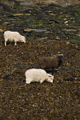 NORTH RONALDSAY ORKNEY North Ronaldsay black and white sheep eating seaweed  Picture Credit: Doug Houghton / Scottish Viewpoint Tel: +44 (0) 131 622 7174   Fax: +44 (0) 131 622 7175 E-Mail : info@scot... Public orkney,north,ronaldsay,flock,sheep,livestock,ewes,female,ovis,ovine,herd,fold,animal,breed,bred,pedigree,thoroughbred,grazing,eating,feeding,seaweed,sea,weed,orkneys,coast,pure,purebred,purebreed,anim