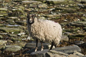 NORTH RONALDSAY ORKNEY North Ronaldsay horned black faced white sheep standing on rocks  Picture Credit: Doug Houghton / Scottish Viewpoint Tel: +44 (0) 131 622 7174   Fax: +44 (0) 131 622 7175 E-Mail... Public orkney,north,ronaldsay,horned,sheep,rocky,shore,ewe,female,ovis,ovine,animal,breed,bred,pedigree,thoroughbred,farm,rear,seacoast,sea,coast,horn,horns,orkneys,livestock,pedigrees,thoroughbreds,live,nor