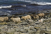 NORTH RONALDSAY ORKNEY North Ronaldsay flock of sheep with lambs on rocky beach and sea  Picture Credit: Doug Houghton / Scottish Viewpoint Tel: +44 (0) 131 622 7174   Fax: +44 (0) 131 622 7175 E-Mail... Public orkney,north,ronaldsay,flock,sheep,seacoast,breed,lambs,spring,springlambs,offsprings,herd,fold,ovis,ovine,herded,flocked,herding,animals,herds,flocks,animal,bred,pedigree,thoroughbred,sea,coast,rocky