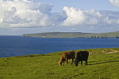 Beef cattle FARMING ORKNEY Pair of beef cows grazing above Eynhallow Sound in Evie  Picture Credit: Doug Houghton / Scottish Viewpoint Tel: +44 (0) 131 622 7174   Fax: +44 (0) 131 622 7175 E-Mail : in... Public orkney,farming,beef,cattle,grazing,field,livestock,isle,north,scotland,scottish,island,isles,orkneys,islands,cow,cows,animal,breeding,raising,rearing,domesticated,farmed,reared,raised,live,stock,domes