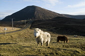 White Shetland pony and grazing Shetland ponies grazing moorland Ward Hill Braebister HOY ORKNEY  Picture Credit: Doug Houghton / Scottish Viewpoint Tel: +44 (0) 131 622 7174   Fax: +44 (0) 131 622 71... Public shetland,ponies,moorland,hoy,orkney,heathland,white,pony,and,grazing,ward,hill,braebister,moor,marsh,land,moors,moorlands,heathlands,animal,small,horse,little,horses,animals,highland,countryside,hills