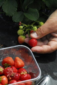 Strawberry picking at Cairnie Fruit Farm, near Cupar, Fife. Picture Credit: Chris Robson / Scottish Viewpoint Tel: +44 (0) 131 622 7174 Fax: +44 (0) 131 622 7175 E-Mail: info@scottishviewpoint.com Web... Public 2010,summer,sunny,people,pick your own,PYO,produce,farming,crop,local,food,eating,agriculture,soft,straws,fruit