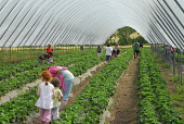 Strawberry picking at Cairnie Fruit Farm, near Cupar, Fife. Picture Credit: Chris Robson / Scottish Viewpoint Tel: +44 (0) 131 622 7174 Fax: +44 (0) 131 622 7175 E-Mail: info@scottishviewpoint.com Web... Public 2010,summer,sunny,people,pick your own,PYO,produce,farming,crop,local,food,eating,agriculture,soft,fruit,straws,covered,polytunnel