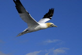 A gannet viewed from the May Princess sailing in the Firth of Forth to the Isle of May from Anstruther. Picture Credit: Chris Robson / Scottish Viewpoint Tel: +44 (0) 131 622 7174 Fax: +44 (0) 131 622... Public 2010,summer,ferry,bird watching,boat,sunny,trip,seabird,fauna