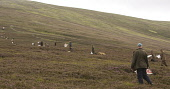 Line of beaters driving grouse to guns on a driven grouse shoot, Highlands of Scotland. Picture Credit: John MacTavish / Scottish Viewpoint  Tel: +44 (0) 131 622 7174  Fax: +44 (0) 131 622 7175  E-Mai... Public, NMR shooting,sport,dog,working,sunny,people