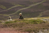 Taking a breather during a grouse shoot, Highlands of Scotland. Picture Credit: John MacTavish / Scottish Viewpoint  Tel: +44 (0) 131 622 7174  Fax: +44 (0) 131 622 7175  E-Mail: info@scottishviewpoin... Public, NMR people,shooting,sport,heather,gun