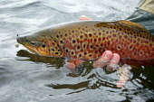 Large Brown trout in mating colours, Tinto Fishery, Scottish Borders Picture Credit: Scott Whitelaw / Scottish Viewpoint Tel: +44 (0) 131 622 7174   Fax: +44 (0) 131 622 7175 E-Mail : info@scottishvie... Public summer,fishing,rod,angling,fisherman,fishermen,angler,anglers,reel,fish,boat,net