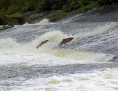 Leaping salmon, River Teviot, Fife Picture Credit: Scott Whitelaw / Scottish Viewpoint Tel: +44 (0) 131 622 7174   Fax: +44 (0) 131 622 7175 E-Mail : info@scottishviewpoint.com Web: www.scottishviewpo... Public summer,fishing,angling,fisherman,fishermen,angler,anglers,fish