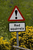 Signs warning of red squirrels crossing road, Scotland. Picture Credit: Peter Cairns / Scottish Viewpoint Tel: +44 (0) 131 622 7174   Fax: +44 (0) 131 622 7175 E-Mail : info@scottishviewpoint.com Web:... Public, NMR May,Peter Cairns,Scotland,arboreal,cars,danger,declining,forest,mammal,native,people,red squirrels,road,rodent,sciurus vulgaris,signs,threatened,traffic,trees,vehicles,vulnerable,warning,wildlife,wood