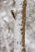 Great-spotted woodpecker in winter forest, Scotland. Picture Credit: Peter Cairns / Scottish ViewpointTel: +44 (0) 131 622 7174  Fax: +44 (0) 131 622 7175E-Mail : info@scottishviewpoint.comWeb: www.sc... Public, NMR 2008,Cairngorms National Park,Highlands,January,Peter Cairns,Scotland,avian,bird,cold,dendrocopus major,forest,great spotted woodpecker,native,perched,scots pine,snow,wildlife,winter,birds