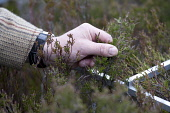 Deer stalker measuring and monitoring tree growth, Glenfeshie, Scotland.  Picture Credit: Peter Cairns / Scottish Viewpoint Tel: +44 (0) 131 622 7174   Fax: +44 (0) 131 622 7175 E-Mail : info@scottish... Public, NMR red deer,cervus elaphus,herbivore,wildlife,ungulate,mammal,native,management,cull,shoot,man,human,wildlife management,controversial,tradition,culture,deer stalker,Glenfeshie,Cairngorms National Park,S