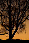 Silver birch (Betula pendula) silhouetted at sunset, Scotland.  Picture Credit: Peter Cairns / Scottish Viewpoint Tel: +44 (0) 131 622 7174   Fax: +44 (0) 131 622 7175 E-Mail : info@scottishviewpoint.... Public, NMR atmospheric,betula pendula,black,Cairngorms National Park,December,forest,graphic,native,orange,Peter Cairns,Scotland,silhouette,silver birch,sunset,tree,woodland,highlands