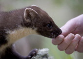 Pine marten (Martes martes) feeding from human hand, Scotland.  Picture Credit: Peter Cairns / Scottish Viewpoint Tel: +44 (0) 131 622 7174   Fax: +44 (0) 131 622 7175 E-Mail : info@scottishviewpoint.... Public, NMR Cairngorms National Park,carnivore,food,forest,habituated,hunter,July,mammal,martes martes,mustelid,native,Peter Cairns,pine marten,predator,rare,relaxed,Scotland,tame,trees,wild,wildlife,woodland,you