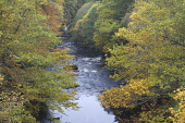 River Findhorn in autumn, Randolphs Leap, Scotland.  Picture Credit: Peter Cairns / Scottish Viewpoint Tel: +44 (0) 131 622 7174   Fax: +44 (0) 131 622 7175 E-Mail : info@scottishviewpoint.com Web: ww... Public, NMR Autumn,Findhorn,forest,Forres,gold,habitat,Highlands,landscape,native,October,Peter Cairns,Randolphs Leap,river,Scotland,season,trees,water,wetland,woodland,yellow