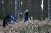 Capercaillie (Tetrao urogallus) male displaying, Scotland.  Picture Credit: Peter Cairns / Scottish Viewpoint Tel: +44 (0) 131 622 7174   Fax: +44 (0) 131 622 7175 E-Mail : info@scottishviewpoint.com... Public, NMR adult,aggressive,avian,bird,Cairngorms National Park,capercaillie,cold,commercial,courtship,declining,display,displaying,forest,game bird,grouse,January,large,lek,lekking,male,native,Peter Cairns,pine