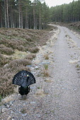 Capercaillie (Tetrao urogallus) male displaying on forest track, Scotland.  Picture Credit: Peter Cairns / Scottish Viewpoint Tel: +44 (0) 131 622 7174   Fax: +44 (0) 131 622 7175 E-Mail : info@scotti... Public, NMR adult,aggressive,avian,bird,Cairngorms National Park,capercaillie,cold,commercial,courtship,declining,display,displaying,forest,game bird,grouse,January,large,lek,lekking,male,native,Peter Cairns,pine