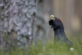 Capercaillie (Tetrao urogallus) male displaying, Scotland.  Picture Credit: Peter Cairns / Scottish Viewpoint Tel: +44 (0) 131 622 7174   Fax: +44 (0) 131 622 7175 E-Mail : info@scottishviewpoint.com... Public, NMR aggressive,avian,bird,black,Cairngorms National Park,capercaillie,conservation,courtship,declining,displaying,grouse,heather,large,male,March,Peter Cairns,pine forest,rare,ritual,Scotland,scots pine,s