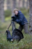Capercaillie (Tetrao urogallus) male displaying to photographer, Scotland.  Picture Credit: Peter Cairns / Scottish Viewpoint Tel: +44 (0) 131 622 7174   Fax: +44 (0) 131 622 7175 E-Mail : info@scotti... Public, NMR aggressive,avian,bird,black,Cairngorms National Park,capercaillie,conservation,courtship,declining,displaying,grouse,heather,human.,large,male,March,Peter Cairns,photographer,pine forest,rare,ritual,S