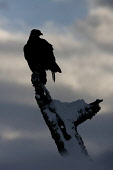 Golden eagle (Aquila chrysaetos) (c) silhouetted against winter sky,  Scotland. Picture Credit: Peter Cairns / Scottish ViewpointTel: +44 (0) 131 622 7174  Fax: +44 (0) 131 622 7175E-Mail : info@scott... Public, NMR aquila chrysaetos,avian,bird,bird of prey,Cairngorms National Park,carnivore,February,golden eagle,hunter,hunting,iconic,large,majestic,moody.,moorland,persecuted,Peter Cairns,predator,raptor,Scotland