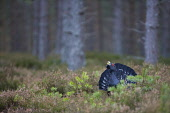 Capercaillie (Tetrao urogallus) male displaying in forest, Scotland.  Picture Credit: Peter Cairns / Scottish Viewpoint Tel: +44 (0) 131 622 7174   Fax: +44 (0) 131 622 7175 E-Mail : info@scottishview... Public, NMR aggressive,avian,bird,black,Cairngorms National Park,capercaillie,conservation,courtship,declining,displaying,grouse,heather,large,male,March,Peter Cairns,pine forest,rare,ritual,Scotland,scots pine,s