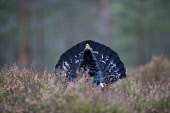 Capercaillie (Tetrao urogallus) male displaying in forest, Scotland  Picture Credit: Peter Cairns / Scottish Viewpoint Tel: +44 (0) 131 622 7174   Fax: +44 (0) 131 622 7175 E-Mail : info@scottishviewp... Public, NMR aggressive,avian,bird,black,Cairngorms National Park,capercaillie,conservation,courtship,declining,displaying,grouse,heather,large,male,March,Peter Cairns,pine forest,rare,ritual,Scotland,scots pine,s