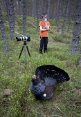Young boy photographing rogue Capercaillie (Tetrao urogallus) male displaying in pine forest, Scotland.  Picture Credit: Peter Cairns / Scottish Viewpoint Tel: +44 (0) 131 622 7174   Fax: +44 (0) 131... Public, NMR aggressive,avian,bird,black,Cairngorms National Park,capercaillie,conservation,courtship,declining,displaying,grouse,heather,large,male,March,Peter Cairns,pine forest,rare,ritual,Scotland,scots pine,s