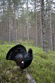 Capercaillie (Tetrao urogallus) male displaying in pine forest, Scotland.  Picture Credit: Peter Cairns / Scottish Viewpoint Tel: +44 (0) 131 622 7174   Fax: +44 (0) 131 622 7175 E-Mail : info@scottis... Public, NMR aggressive,avian,bird,black,Cairngorms National Park,capercaillie,conservation,courtship,declining,displaying,grouse,heather,large,male,March,Peter Cairns,pine forest,rare,ritual,Scotland,scots pine,s