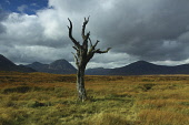 Dead tree on Rannoch Moor looking towards Buachaille Etive Mor, Glen Coe, Highlands  Picture Credit: Keith Fergus / Scottish Viewpoint?Tel: +44 (0) 131 622 7174  ?Fax: +44 (0) 131 622 7175?E-Mail : in... Public Tree,Dead,Rannoch Moor,Glencoe,Buachaille Etive Mor,Beinn a Chrulaiste,Mountain,Hill,Munro,Corbett,Lonely,Clouds,Atmospheric,Scotland,Tourism