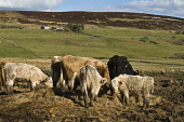 Hill farming cows eating winter fodder Caithness Beef cows CATTLE FARMING  Picture Credit: D. Houghton / Scottish Viewpoint Tel: +44 (0) 131 622 7174   Fax: +44 (0) 131 622 7175 E-Mail : info@scottish... Public hill,farming,farmland,cows,eating,winter,fodder,uk,caithness,beef,cattle,feeding,eats,feeds,foraging,eat,cow,herd,supplement,scotland,livestock,highlands,agriculture,highland,rural,economy,farm,agricu