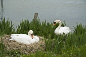 Breeding pair of Swans female sitting on nest  SWAN BIRD  Picture Credit: D. Houghton / Scottish Viewpoint Tel: +44 (0) 131 622 7174   Fax: +44 (0) 131 622 7175 E-Mail : info@scottishviewpoint.com Thi... Public scotland,swans,breeding,pair,uk,swan,nest,couple,female,sitting,bird,nesting,scottish,cygnus,olors,birds,olor,hen,raising,rearing,2,two,number,perch,nestle,site,perchs,nestles,nests,sits,perching,nest