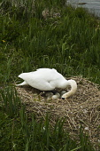 Female swan arranging eggs on loch side nest  SWAN BIRD  Picture Credit: D. Houghton / Scottish Viewpoint Tel: +44 (0) 131 622 7174   Fax: +44 (0) 131 622 7175 E-Mail : info@scottishviewpoint.com This... Public female,swan,arranging,nest,swans,eggs,uk,scotland,bird,orkney,cygnus,olor,islands,isles,island,scottish,isle,orkneys,northern,british,gb,great,britain,breeding,raising,rearing,loch,side,birds,olors,un