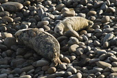 Mother Atlantic seal basking and new born pup on rocky beach Atlantic Grey Seal SEAL ANIMAL  Picture Credit: D. Houghton / Scottish Viewpoint Tel: +44 (0) 131 622 7174   Fax: +44 (0) 131 622 7175 E-Ma... Public mother,atlantic,seal,halichoerus,grypus,baby,uk,basking,with,new,born,pup,on,rocky,beach,grey,animal,newborn,horsehead,rock,family,cub,horizontal,sleeping,sea,creatures,sealife,mammals,carnivores,mamm