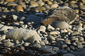 Mother Atlantic seal basking with new born pup on rocky beach Atlantic Grey Seal SEAL ANIMAL  Picture Credit: D. Houghton / Scottish Viewpoint Tel: +44 (0) 131 622 7174   Fax: +44 (0) 131 622 7175 E-M... Public rocky,beach,newborn,seal,pup,grey,seals,uk,orkney,mother,atlantic,basking,with,new,born,on,animal,horsehead,rock,halichoerus,grypus,baby,ashore,sea,creatures,sealife,mammals,carnivores,mammal,marine,w
