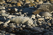 Mother Atlantic seal basking with new born pup on rocky beach Atlantic Grey Seal SEAL ANIMAL  Picture Credit: D. Houghton / Scottish Viewpoint Tel: +44 (0) 131 622 7174   Fax: +44 (0) 131 622 7175 E-M... Public uk,rock,beach,grey,seal,pup,mother,basking,atlantic,with,new,born,on,rocky,animal,newborn,horsehead,halichoerus,grypus,baby,seals,family,cub,sleeping,sea,creatures,sealife,mammals,carnivores,mammal,ma
