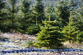 Christmas Trees growing on a farm in South Lanarkshire  Picture Credit : Andrew Wilson / Scottish Viewpoint Tel: +44 (0) 131 622 7174   Fax: +44 (0) 131 622 7175 E-Mail : info@scottishviewpoint.com Th... Public United Kingdom,Weather,Winter,Winter Scene,Winter Scenes,Wintery,Wintry,Agricultural,Agriculture,Borders,Christmas Tree,Christmas tree farm,Christmas Trees,Climate,Cold,Europe,Farm,Farms,GB,Great Brit
