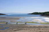 Riders at Brighouse Bay, Dumfries and Galloway. Picture Credit: Allan Wright / Scottish Viewpoint Tel: +44 (0) 131 622 7174   Fax: +44 (0) 131 622 7175 E-Mail : info@scottishviewpoint.com This photogr... Public atmospheric,bay,beach,blue,blue sky,bright,dry,dumfries and galloway,freedom,Galloway,hacking,horizon,horse riding,horses,isle of man,kirkcudbrightshire,people,relaxing,rocks,romantic,sand,scotland,sc