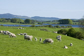 Loch Ken near Crossmichael with sheep, Dumfries and Galloway. Picture Credit: Allan Wright / Scottish Viewpoint Tel: +44 (0) 131 622 7174   Fax: +44 (0) 131 622 7175 E-Mail : info@scottishviewpoint.co... Public agricultural,blue,blue sky,boat,bright,bucolic,bushes,clear,colourful,copse,Course fishing,Crossmichael,dark,Dumfries & Galloway,farm animals,farming,farmland,field,Galloway,grass,grazing,green,idylli