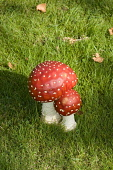 Fly Agaric, Inverewe Garden and Estate near Poolewe, Highland. Picture Credit: D.G.Farquhar / Scottish Viewpoint Tel: +44 (0) 131 622 7174   Fax: +44 (0) 131 622 7175 E-Mail : info@scottishviewpoint.c... Fungi,Fungus,Highlands,Poolewe,Toadstool,Toadstools,UK,Fly Agaric,gardens,red,sunny,summer