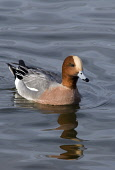 wigeon,anas penelope,caerlaverock,solway firth, dumfries and galloway Picture Credit: Mark Hicken / Scottish Viewpoint Tel: +44 (0) 131 622 7174   Fax: +44 (0) 131 622 7175 E-Mail : info@scottishviewp... Public wigeon,anas penelope,duck,drake,colourful,wetlands,wildfowl and wetlands trust,wwt,wildfowl,scottish wildlife,british bird,scotland,caerlaverock,solway firth,water,swimming