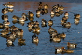 wigeon in winter,anas penelope,solway firth, dumfries and galloway Picture Credit: Mark Hicken / Scottish Viewpoint Tel: +44 (0) 131 622 7174   Fax: +44 (0) 131 622 7175 E-Mail : info@scottishviewpoin... Public wigeon,anas penelope,duck,ducks,wildfowl,wildfowl and wetlands trust,wwt,caerlaverock,solway firth,scottish wildlife,scotland,british bird,group,water,swimming,winter