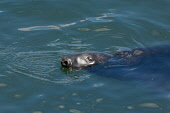 Grey seal, Fraserburgh harbour, Aberdeenshire. Picture Credit : Ross Graham / Scottish Viewpoint  Tel: +44 (0) 131 622 7174  Fax: +44 (0) 131 622 7175  E-Mail : info@scottishviewpoint.com  Web: www.sc... Public wildlife,animal,swimming,head,mammal,fauna