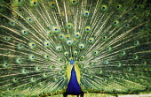 A peacock in full display. Picture Credit : Allan Wright / Scottish Viewpoint  Tel: +44 (0) 131 622 7174  Fax: +44 (0) 131 622 7175  E-Mail : info@scottishviewpoint.com  Web: www.scottishviewpoint.com... Public bird,animal,scotland,fauna,feathers