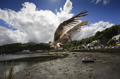 A gull swooping down on the harbour at Tobermory on the Isle of Mull, Inner Hebrides. Picture Credit : Gary Doak / Scottish Viewpoint  Tel: +44 (0) 131 622 7174  Fax: +44 (0) 131 622 7175  E-Mail : in... Public scenic,balamory,harbor,seafront,blue,sky,white,clouds,sunny,summer,coast,coastal,bird,seagull,fauna,flying