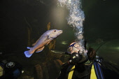 A diver gets a close look at a Cuckoo wrasse (Labrus mixtus) in the aquarium at Deep Sea World, North Queensferry, Fife, Scotland. Picture Credit : Gary Doak / Scottish Viewpoint  Tel: +44 (0) 131 622... Public aquarium,attraction,visitor,swimming