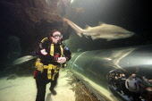 Sand Tiger shark (Carcharias taurus) in the aquarium at North Queensferry, Fife, Scotland. Picture Credit : Gary Doak / Scottish Viewpoint  Tel: +44 (0) 131 622 7174  Fax: +44 (0) 131 622 7175  E-Mail... Public aquarium,attraction,visitor,swimming,diver